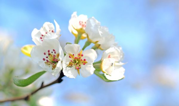 apple-blossoms-1368187_1280